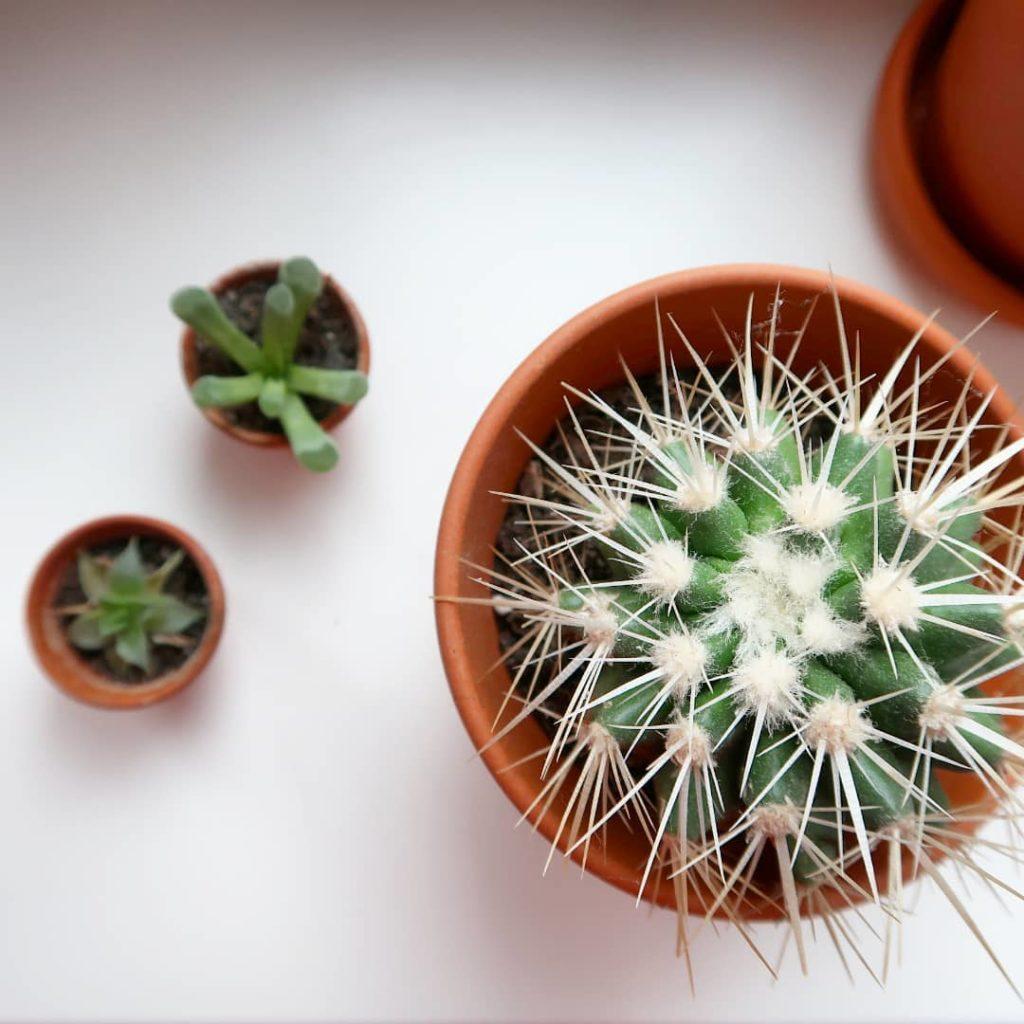 Trois cactus en pot